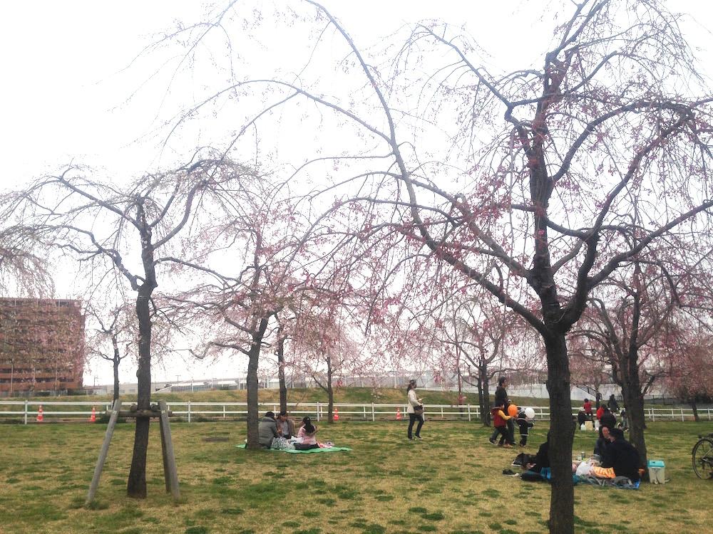 イベントレポート - シダレザクラ祭り2016 @尾久の原公園
