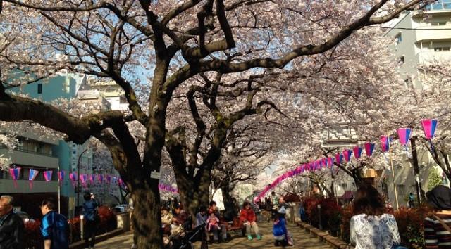 文京区の名坂(東京坂道ゆるラン)さくらまつりの播磨坂と環三通り