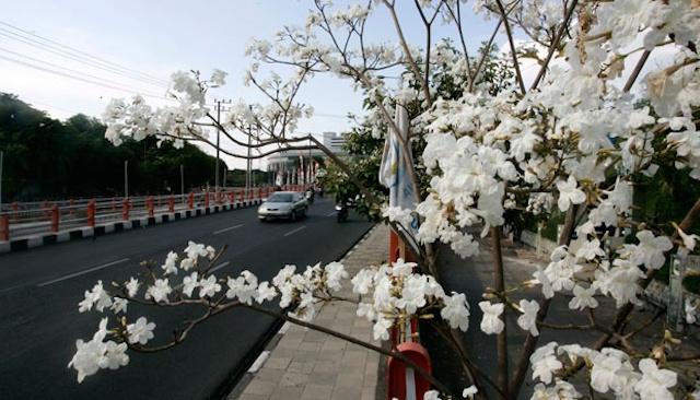 スラバヤで「桜」見物はいかがですか(松井和久)
