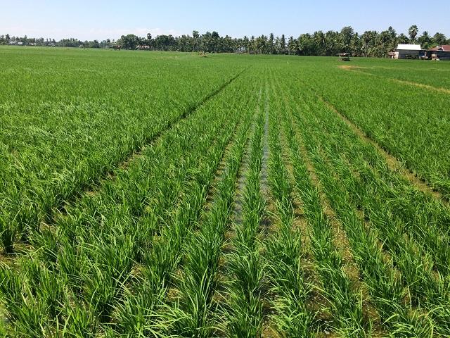 農民が編み出す米の直播技術(松井和久)