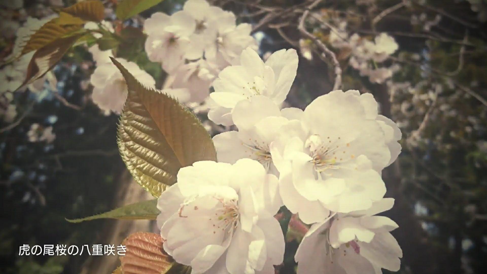 桜前線追いかける