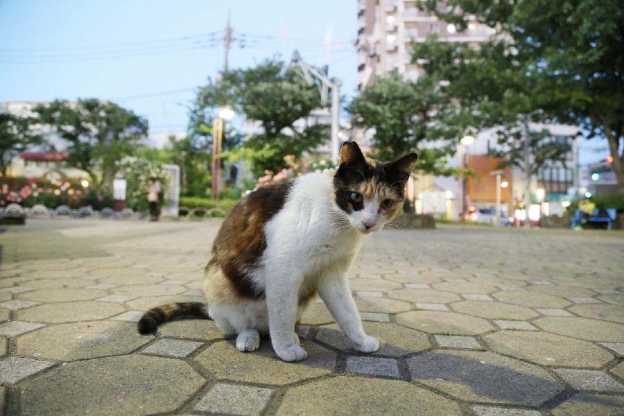 写真で綴るバラと都電と猫 [こち荒] vol.8 - ③地域猫
