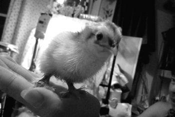 卵からニワトリ誕生