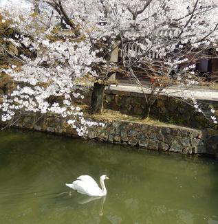 桜満開、倉敷美観地区、2019!