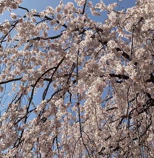ちいさい春を見つける散歩/谷中~上野、小石川~春日