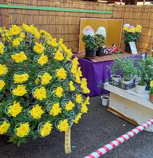 天神様で菊まつり、今年は縮小開催/湯島天神、牛天神北野神社