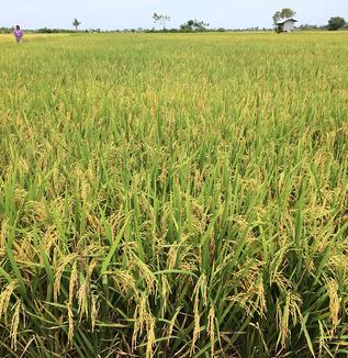 米作農業の現場で始まっていた機械化