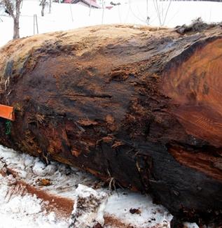 5400年前の巨木出土(福島県奥会津の三島町)